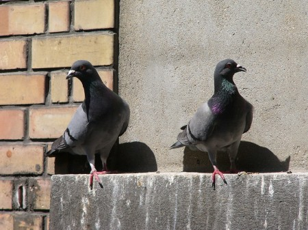 surveillance pigeons with batteries will have them changed this week in Portage la Prairie