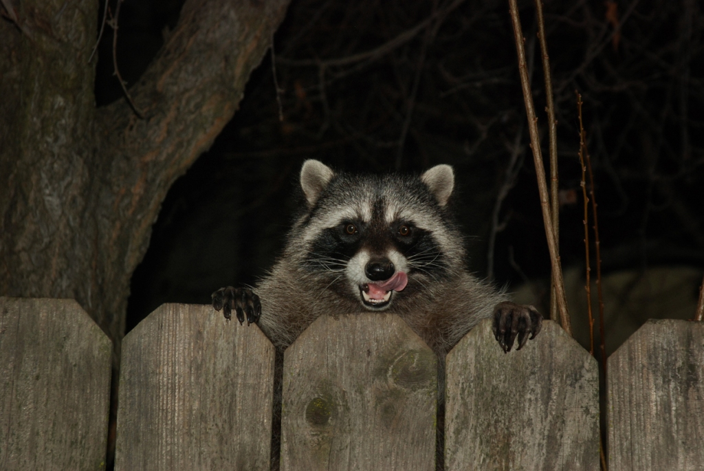 Raccoon teaches isolated and lonely woman how to sing